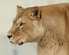 Yorkshire Wildlife Park 20.02.2018 280 (Andrew Burling (SnapAndy1512)) Tags: yorkshirewildlifepark20022018 yorkshirewildlifepark lion lions bigcats animals zoo