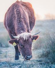 Kanaalpark 3363 (Ingeborg Ruyken) Tags: dropbox vorst februari sunrise winter dawn frost february flickr cow kanaalpark morning koe empel 500pxs natuurfotografie rodegeus ochtend zonsopkomst morgen