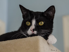 Skittles (Diane G. Zooms---Mostly Off) Tags: tuxedocats catportriats catpics catphotos dianegiurcophotography vg~catsgallery coth bestofcats coth5 kittyschoice fantasticnature hganimalsonly