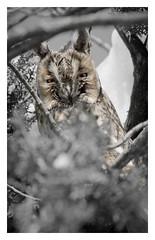 GGK33714.2 (jakobgfreiner) Tags: eule owl
