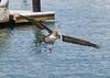 Pelican landing in the harbor. (jimbobphoto) Tags: bird seabird nature mexico pelican flight harbor wings