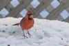 Cardinal rouge, Québec, Canada - 4856 (rivai56) Tags: cardinalrouge québec canada4856 villedequébec canada ca male red cardinal