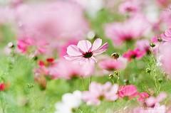 雲想衣裳花想容 ([M!chael]) Tags: nikon f3hp nikkor 10525 ais fujifilm superia200 film manual taiwan hsinchu flower color nature