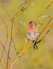 male - finch (dbking2162) Tags: house finch beautiful birds bird beauty nature nationalgeographic wildlife green arizona trees outside outdoor