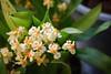 Oncidium Thiny Twinkle gelb (blumenbiene) Tags: orchidee orchideen orchids orchid flowers flower blüten blüte plant pflanze oncidium tiny twinkle gelb yellow orchideenblüten