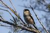 Aegithalos caudatus, _DSC3345 (Francesc //*//) Tags: mito longtailedtit mésangealonguequeue aus aves animal au ave aegithaloscaudatus mallerengacuallarga aiguamolls lempordà aiguamollsdelempordà bird birds pájaro pájaros ocell oiseau ocells oiseaux natura naturaleza nature