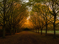Late Afternoon Light (davepickettphotographer) Tags: cambridgeshire cambridge lode nationaltrust wwwnationaltrustorguk autumn leaves trees jubilee walk fall property historic eastofengland eastern landscapes landscape olympuscamera uk angleseyabbey