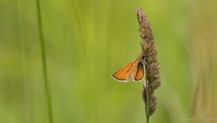 Small Skipper-3693 (WendyCoops224) Tags: 100400mml 80d canon eos localbirdswildlife minibeasts ©wendycooper warmer days butterfly small skipper