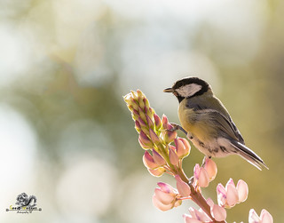 great tit standing on lupine