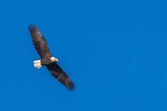 Pygargue A Tête Blanche / Bald Eagle (ALLAN .JR) Tags: pygargueatêteblanche baldeagle nature wildlife ciel sky récréoparc oiseau bird nikon rapace birdofprey