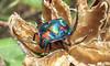 Shield Beetle - series,  #1 (Mary Faith.) Tags: seed pod hibiscus shield gem jewel colourful queensland beetle