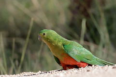 Australian King Parrot (Alisterus scapularis) (Ian Colley Photography) Tags: australiankingparrot alisterusscapularis inverell bird canoneos7dmarkii ef500mmf4lisusm