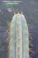 Trichocereus bridgesii var. 'LUMBERJACK' (Pic #4 stem growth example) (mattslandscape) Tags: trichocereus bridgesii var variety clone peruvianus echinopsis lumberjack lumberjakus kakteen cactus cacti cv sacramento california