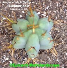 Trichocereus bridgesii var. 'LUMBERJACK' (Pic # 3 Apex close up) (mattslandscape) Tags: trichocereus bridgesii var variety clone peruvianus echinopsis lumberjack lumberjakus kakteen cactus cacti cv sacramento california