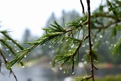 Raindrops (briannalhendricks) Tags: canonrebelt6 canon rainphotography rainonbranches raindrops