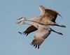 Flying Together (barnmandb65) Tags: sandhill crane pair couple together flying bird flight bif nature