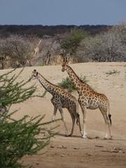 P1020881 (dieter.schultheiss) Tags: namibia naankuse lodge erindi game sossusvlei swakopmund safari cheetah lion gepard oryx dunes elephant elefant wild dog wildhund gnu zebra crocodile krokodil san bushmen buschmänner dead vlei solitaire