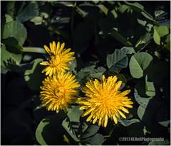 Dandelions... (HLHullPhotography) Tags: dandelions flowers flower leaves