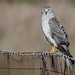 Gray Ghost - Northern Harrier (m)