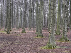 Tree trunks (sander_sloots) Tags: trees trunks bomen boomstammen haagsebos forest bos thehague denhaag winter