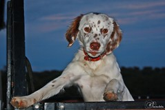 Pipa (AndreiaFMS) Tags: dog doggy dogs boleia carro andreiasarnadinha alentejo animais animal animals animalia photos photographies portugal canon campo