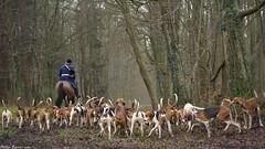 Vénerie (Phil du Valois) Tags: veneur meute forêt domaniale compiègne chasse courre