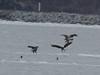 IMG_3225crop (neatnessdotcom) Tags: bald eagles hudson river bay winter birds prey peekskill ny westchester new york canon ef 100400mm f4556l is usm telephoto zoom lens eos rebel t2i 550d