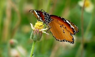 Plain Tiger on  tridax flower - my backyard