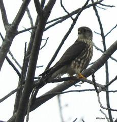 Merlin_N9396 (Henryr10) Tags: 4seasonsmarina kellogg ohioriver ohio cincinnatiarea andersontownship falcocolumbarius falco merlin avian bird vogel ibon oiseau pasare fågel uccello tékklistar raptor falcon merl