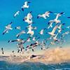 Flock o Seagulls (ericanderson7) Tags: seagulls gulls
