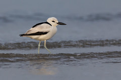 Crab Plover | Dromas ardeola (Paul B Jones) Tags: india crabplover dromasardeola modhvabeach gujarat wader shorebird nature wildlife canoneos5dmarkiv ef800mmf56lisusm dromadidae tourism birding ecotourism tour tourist चिड़िया indiya इंडिया inde indien indië asia asian travel indian blackandwhite