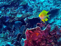 Yellow fish (markb120) Tags: fish animal fauna sea ocean coral reef water underwater diving scubayellow