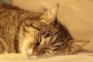 Mysti dort (chat européen)