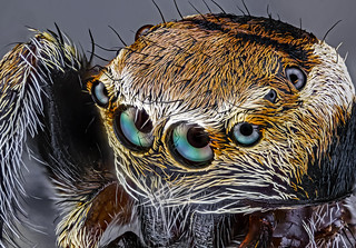Salticidae Springspinne / jumping spider