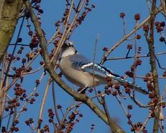 Blue Jay (Dendroica cerulea) Tags: bluejay cyanocittacristata cyanocitta corvidae corvoidea passeri passeriformes psittacopasserae eufalconimorphae aves bird jay corvids winter highlandparkmeadows highlandpark middlesexcounty nj newjersey