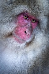 Japanese Macaque... (Syahrel Azha Hashim) Tags: hotspring winter sonyimages coldweather stream sony nopeople snowmonkey 2017 details beautiful primate colors ilce7m2 nagano hotwaterspring touristattraction monkey expression closeup colorimage japanesemacaque animal simple onsen river destination snow moment face outdoors environment travel macaque japan sonya7m2
