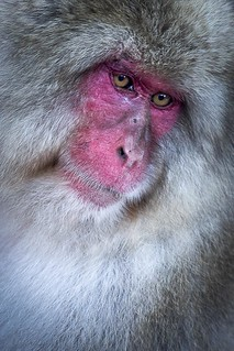 Japanese Macaque...