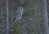 Great Gray Owl (scott5024) Tags: great gray owl sax zim bog