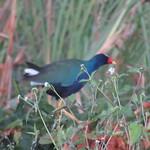 Purple Gallinule; 20180212; PA-Colón-Gamboa thumbnail