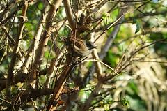 Heggemus (eric zijn fotoos) Tags: bomen holland tree forrest nederland find vondst bos trees noordholland vogel boom sonyrx103 bird