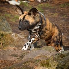 Hunting time (christianck1978) Tags: african huntingdog dog painted