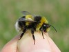 Bombus lucorum male - Silver End, Essex 2017c (Steven Falk) Tags: bombus lucorum whitetailed bumblebee apidae steven falk