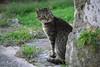 grizli 2014 p (peter.ciuha) Tags: grizli cat mačak otok šipan island sipan šipanska luka