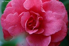 _01A8104-2 (Dream Delivered (Dreamer)) Tags: camellia flower saariysqualitypictures droplet afpl15