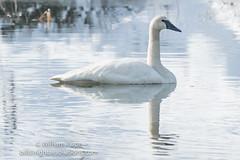 BHP07845 (GabriolaBill) Tags: swan swans bird birds nelder pond gabriola island gabriolaisland bc british columbia canada salish sea salishsea nature wildlife birdlife water sony a7r2 a7rii a7rm2 a7rmii 100400mm gm gmaster