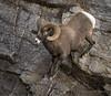 Rocky Mountain Bighorn Sheep (Turk Images) Tags: jaspernationalpark mountainparks northamericanungulates oviscanadensis rockymountainbighornsheep rockymountains alberta bovidae mammals fall mountains sheep woodlands