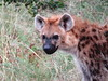 Hyena (Bruwer Burger.) Tags: hyena coth coth5