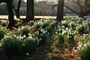 Narcissus papyraceus in Shinjuku Imperial Garden  スイセン ペーパーホワイト (ashitaka-f studio k2) Tags: flower white japan narcissus shinjuku imperial garden スイセン ペーパーホワイト papyraceus ヒガンバナ科 amaryllidaceae