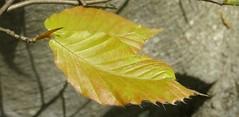 young beech leaves, Upstate South Carolina (Martin LaBar) Tags: southcarolina pickenscounty leaves leaf fagaceae fagus beech spring frühling veins