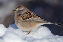 American Tree Sparrow - img_1515 (NicoleW0000) Tags: americantreesparrow songbird migratory bird nature wildlife outdoor winter photography snow ontario